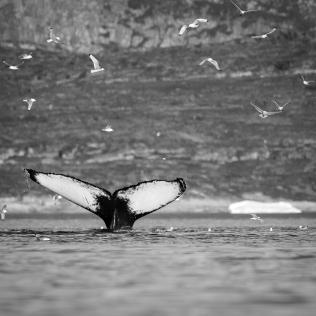 Les baleines à bosses